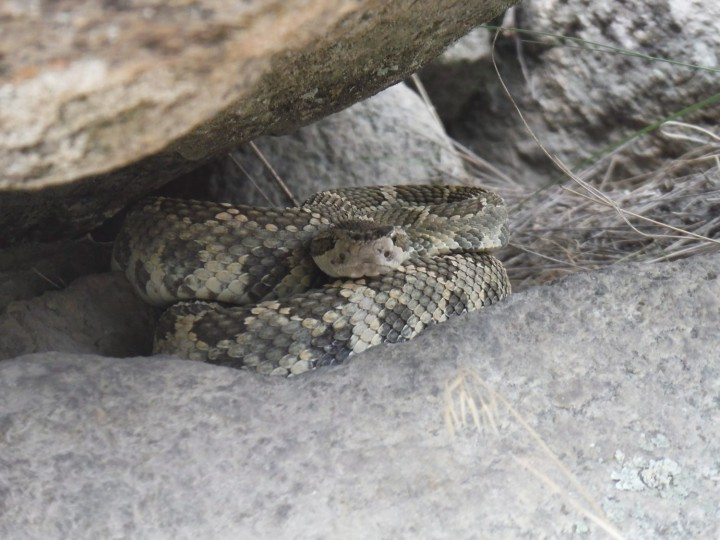 Southern Interior residents cautioned to be 'snake savvy' as warmer weather approaches