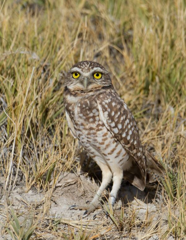 <who> Photo Credit: Ron Dudley </who> Burrowing Owl.