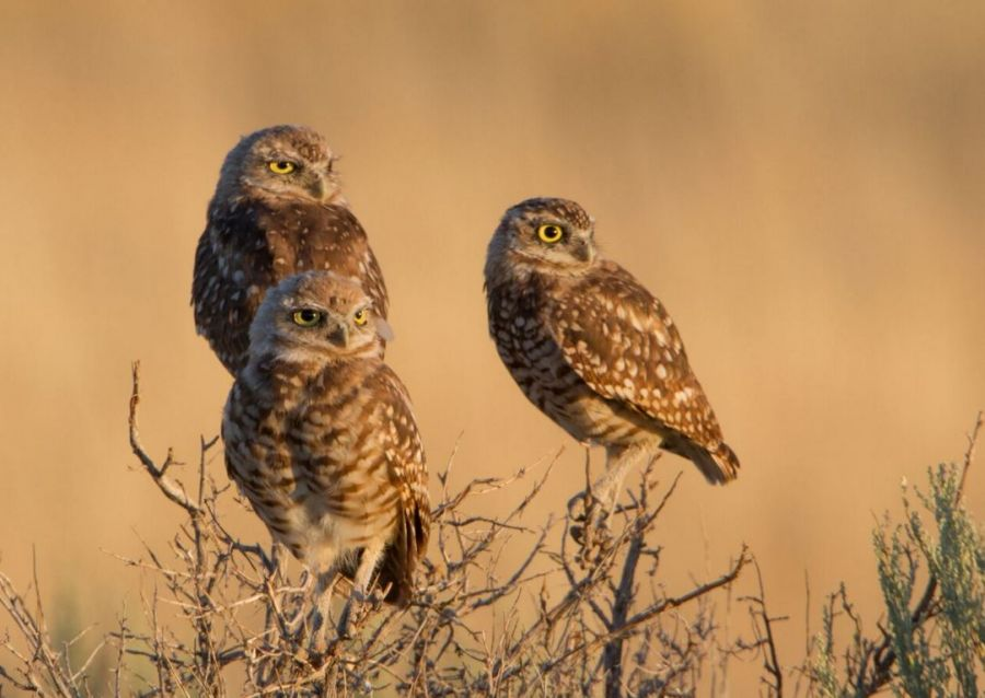 <who> Photo Credit: Ron Dudley </who> Burrowing Owls.
