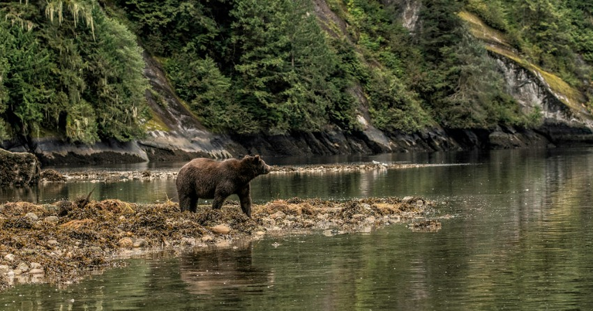 BC government officially bans grizzly bear hunting