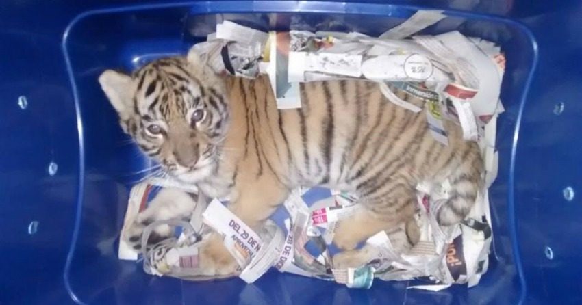 <who>Photo Credit: Federal Police of Mexico</who> The two-month-old Bengal tiger found in a postal centre in Mexico.