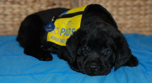 PADS is now hiring puppy babysitters within the Okanagan