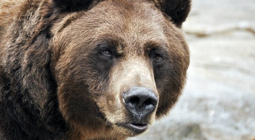 Grizzly sighting near Summerland 'probably just a black bear with brown fur'
