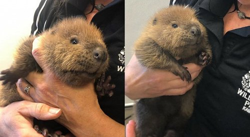 BC Wildlife Park welcomes pair of orphaned beavers from the Okanagan area