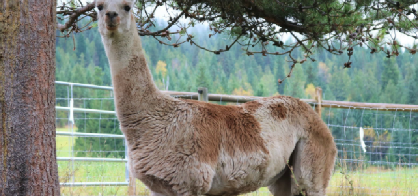 Llama 'recovering well' at Shuswap sanctuary following bear attack earlier this month
